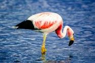Flamingo, Chile