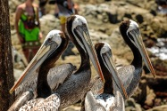 Brown Pelicans, Chile