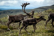 Caribou, Yukon Territory