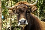 Cow, Lake Titicaca, Peru