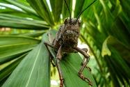 Cricket, Ecuado