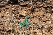 Collared Lizard, CO