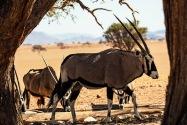 Oryx Namibia