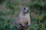 Prairie Dog, WY