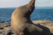Sea Lion, Galapagos Islands