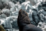 Sea Lion, Chile