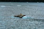Harbor Seals, Alaska