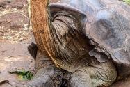 Tortoise, Galapagos Islands