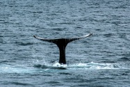 Blue Whale, Channel Islands