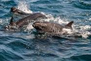 False Killer Whale, CA