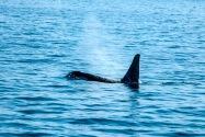 Orka, Alaska